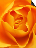 Still Life Photograph, Close-Up of Orange Rose Print by Abdul Kadir Audah