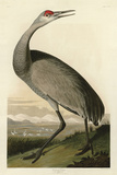 Hooping Crane Posters by John James Audubon