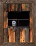 A Barn Owl, Tyto Alba, in the Window of a Barn Framed Photographic Print by Robbie George