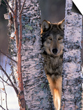 Gray Wolf Near Birch Tree Trunks, Canis Lupus, MN Poster by William Ervin