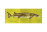 Lake Sturgeon Prints by John Golden