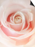Still Life Photograph, a Pink Rose, Shot with Shallow Dof Poster by Abdul Kadir Audah