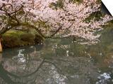 Cherry Blossom, Kenrokuen Garden, Kanazawa City, Ishigawa Prefecture, Honshu Island, Japan Posters by Christian Kober
