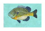 Bluegill Posters by John Golden