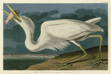 Great White Heron Art by John James Audubon