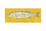 Striped Bass Poster by John Golden