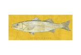 Striped Bass Poster by John W. Golden