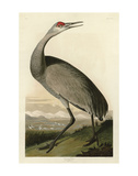 Hooping Crane Prints by John James Audubon