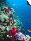 Huge Biodiversity in Living Coral Reef, Red Sea, Egypt Prints by Lousie Murray