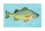 White Perch Art by John Golden
