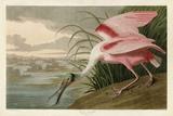 Roseate Spoonbill Reprodukcje autor John James Audubon