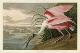 Roseate Spoonbill Prints by John James Audubon