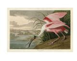 Roseate Spoonbill Poster par John James Audubon
