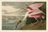 Roseate Spoonbill Affiches par John James Audubon