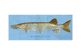 Muskellunge Print by John Golden
