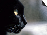 Black Cat Looking Out a Window Prints by Robert Ginn