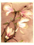 Magnolia and Cream II Prints by Richard Sutton
