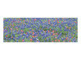 Bluebonnets 3 Posters by Danny Burk