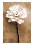 White Rose in Sepia Poster by Christine Zalewski