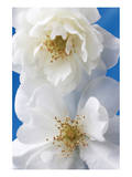A Pair of White Roses Prints by Christine Zalewski