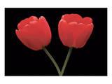 Tulips 01 Prints by Danny Burk