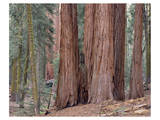 Sequoia General Sherman Grove 3 Art by Danny Burk