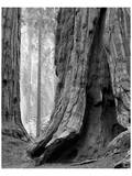 Sequoia Trunks and Beams II Art by Danny Burk