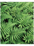 Beaver River Ferns Posters by Danny Burk