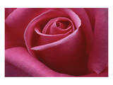 Rose Pink II Prints by Danny Burk