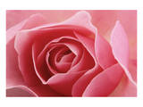 Rose Pink I Stampe di Danny Burk