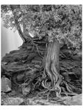 Gooseberry Tree Black and White Posters by Danny Burk