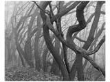 Potato Creek Gnarled Trees Black and White Prints by Danny Burk