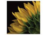 Sunflower VI Print by Danny Burk