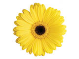 Yellow Gerbera Poster by Christine Zalewski