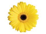 Yellow Gerbera Poster by Christine Zalewski