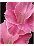 Gladiolus V Prints by Danny Burk