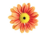 Orange Gerbera Prints by Christine Zalewski