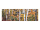 Halfmoon Birches 1 Prints by Danny Burk