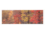 Roaring Fork Fall Color Tree 1 Prints by Danny Burk