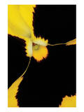 Yellow Pansy Prints by Danny Burk