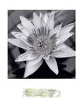 Charming Waterlily Prints by Richard Sutton