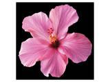 Pink Hibiscus Posters by Christine Zalewski