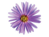 Purple Daisy Art by Christine Zalewski