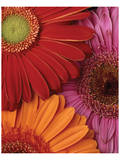 Gerbera Trio Prints by Danny Burk