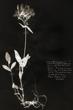 Botanical Collector II Prints by Chris Dunker