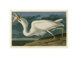 Great White Heron Giclee Print by John James Audubon