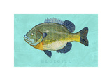 Bluegill Giclee Print by John W. Golden