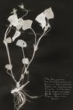 Botanical Collector I Affiche par Chris Dunker