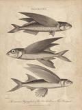 Exocoetus Giclee Print by J Pass
