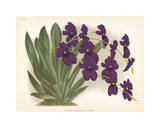 Orchid in Purple Premium Giclee Print by A. Poiteau